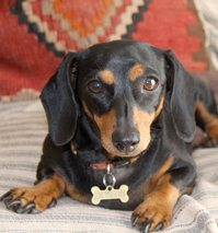 Lucy the Daschund with the bad back